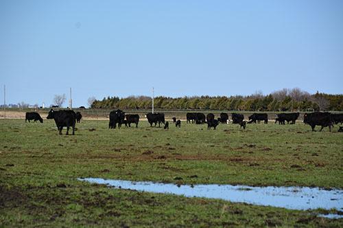 Cows Far Gallery 34309d505d44
