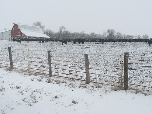 Cows In Snow Copy 535fb8c0