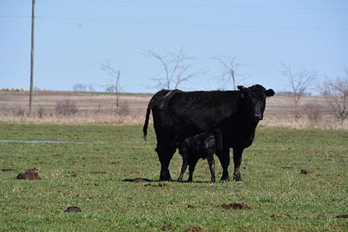 Cows Pair Gallery 383862229042